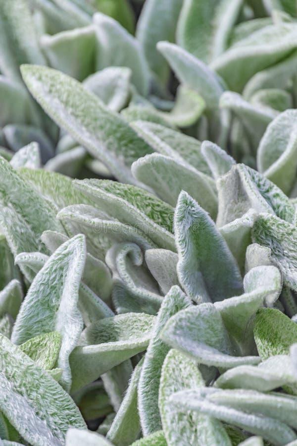 Fondo floral, hojas mullidas de la planta de la cubierta de tierra, Stachys Stahis lanoso imagenes de archivo