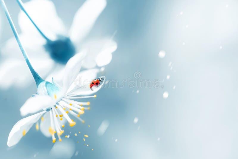 Fondo floral natural de la primavera Cereza blanca elegante de florecimiento y mariquita roja en el jardín de la primavera Postal imagen de archivo libre de regalías