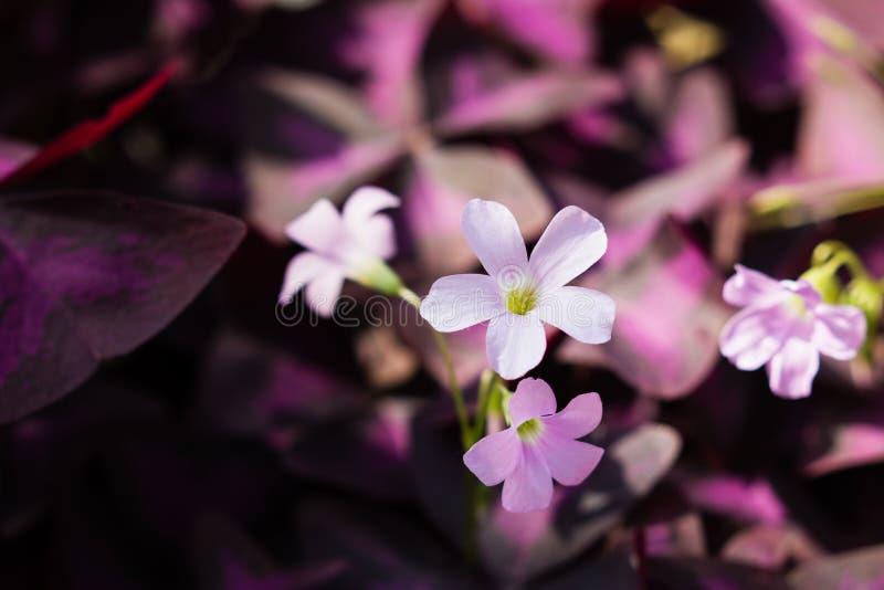 Fondo floral Trébol de la púrpura de los triangularis de Oxalis de la flor fotos de archivo