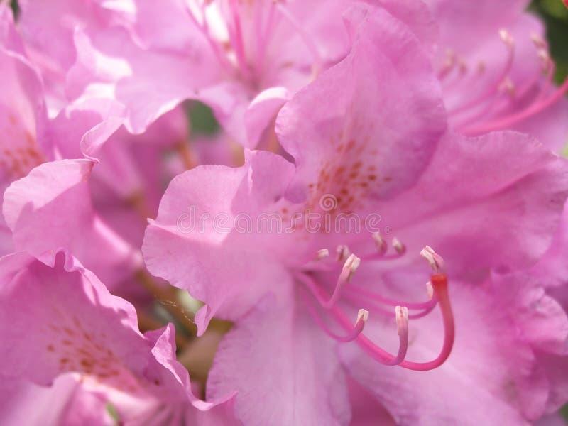 Fondo floreale blured rosa tenero fotografia stock libera da diritti