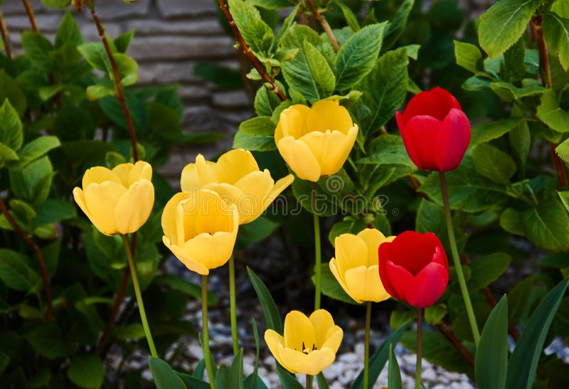 Fondo floreale dei tulipani Bello punto di vista dei tulipani rossi e gialli nel giardino accanto a fondo verde delle piante immagini stock