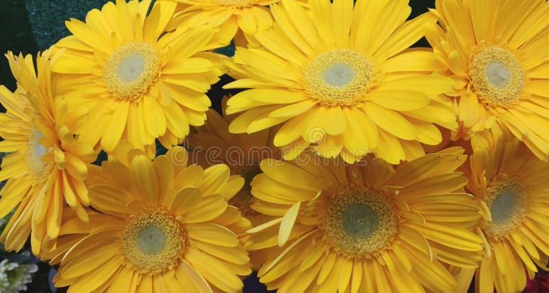 Fondo floreale del bello mazzo della gerbera fotografia stock