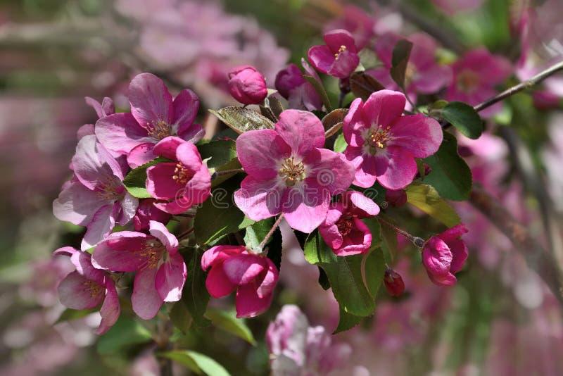 Fondo floreale della molla - ramo sbocciante di melo con i petali rosa delicati fotografia stock libera da diritti