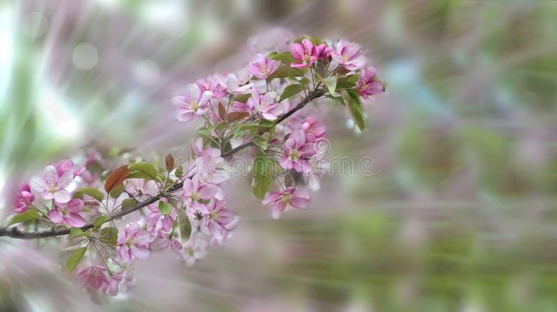 Fondo floreale della molla - ramo sbocciante di melo con i petali rosa delicati immagine stock