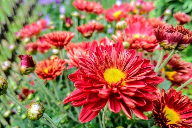 Fondo floreale fresco con il crisantemo rosso ed arancio vibrante fotografia stock
