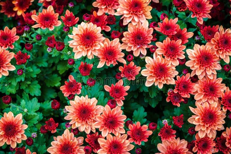 Fondo floreale fresco del primo piano dei fiori del crisantemo di rossi carmini che fioriscono nel giardino con fogliame verde vi fotografia stock libera da diritti