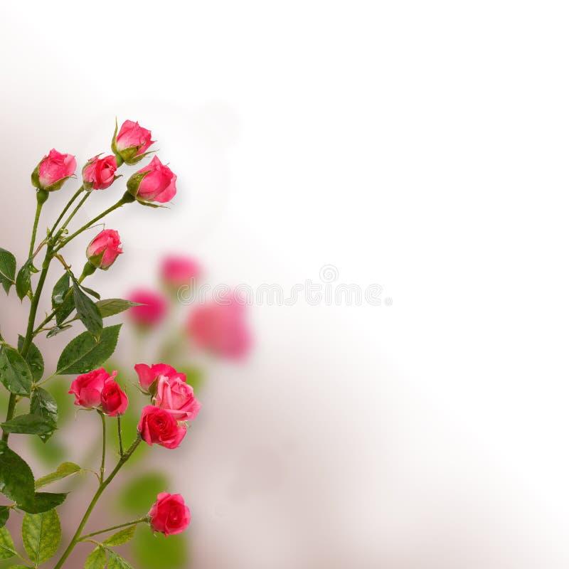 Fondo floreale: rose isolate sopra fondo bianco fotografie stock libere da diritti
