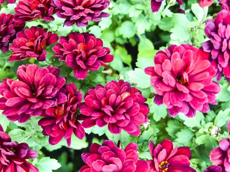 Fondo floreale, struttura dei molti crisantemo rosa immagine stock