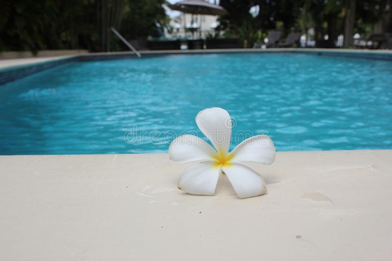 Fondo florido tropical de la piscina frangipani para viajes de balneario con fotografia fotográfica de la reserva fotográfica de imagenes de archivo