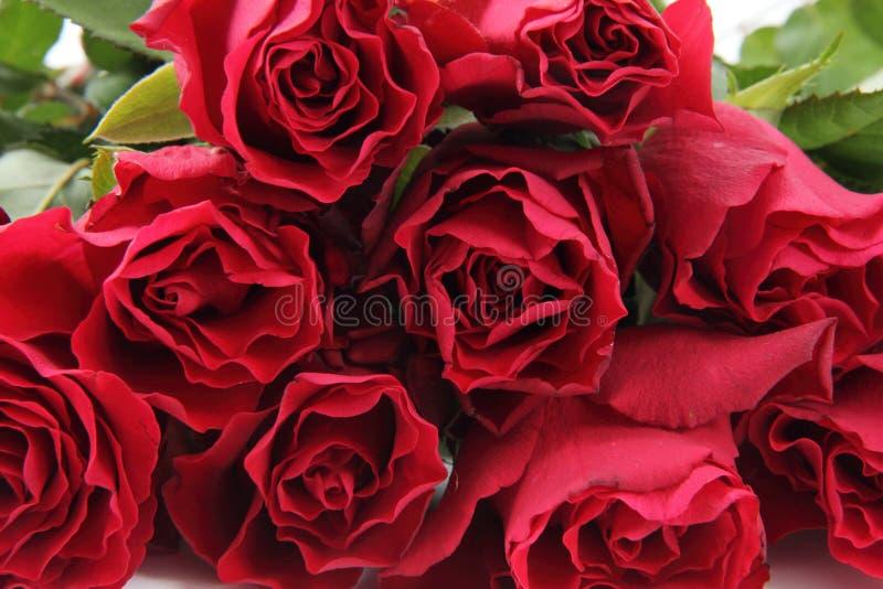 Fondo fresco de las rosas rojas foto de archivo