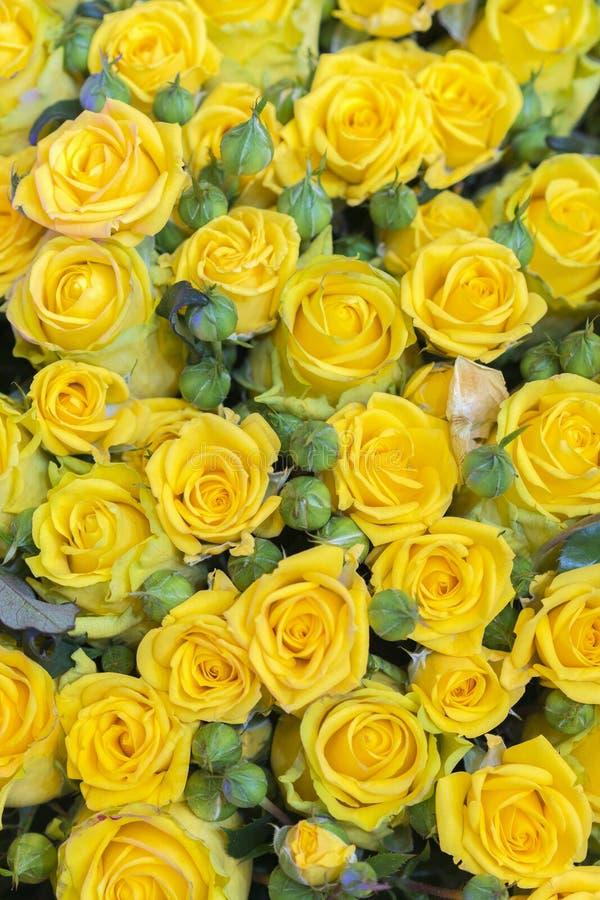 Fondo fresco del fiore del mazzo delle rose gialle Superficie di belle rose gialle nelle gocce di rugiada Fondo delle rose Salvas fotografie stock libere da diritti