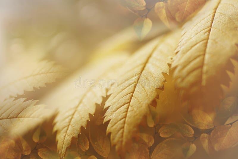 Fondo giallo-ambrato soleggiato di autunno dal primo piano delle foglie La composizione delle foglie dorate immagine stock