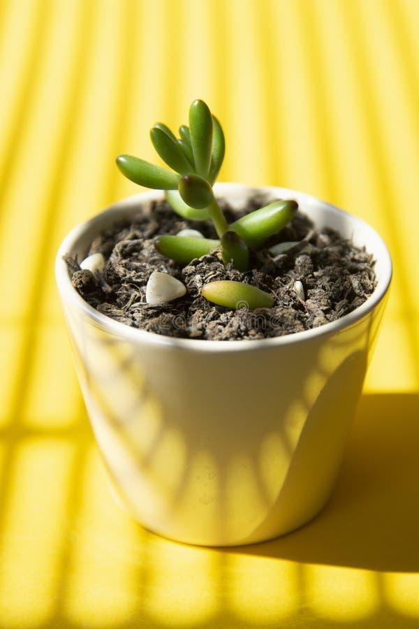Fondo giallo creativo con poca pianta succulente del bambino in vaso Modello astratto di estate fotografia stock