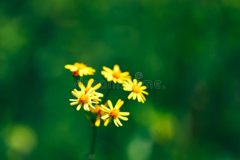fondo giallo dei fiori della calendula della molla di estate con il fondo verde del bokeh della natura immagine stock libera da diritti