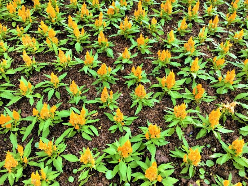 Fondo giallo dei fiori di Dalia in giardino immagine stock libera da diritti