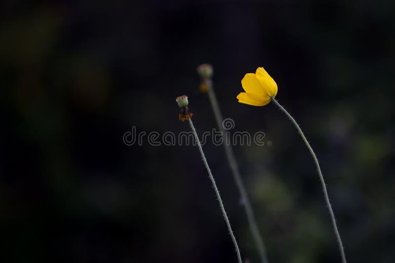 Fondo giallo del nero del fiore fotografie stock libere da diritti
