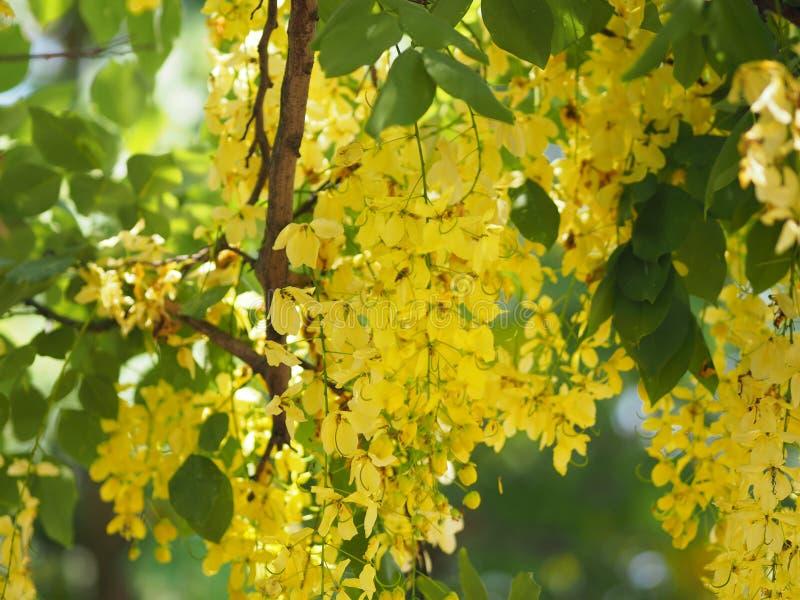 Fondo giallo della natura del fiore dell'albero di doccia dorata immagini stock