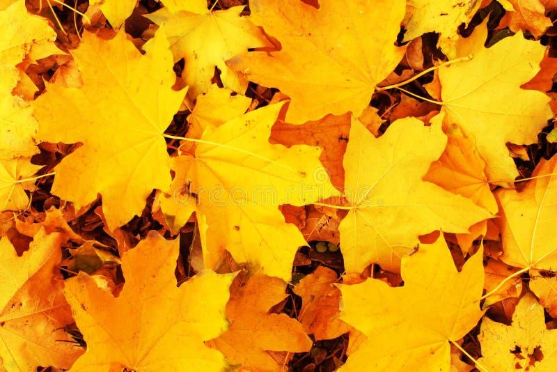 Fondo giallo delle foglie di autunno dell'acero Le caduto autunno variopinto fotografia stock libera da diritti