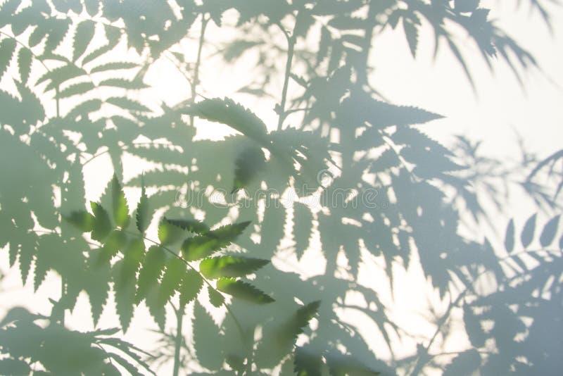 Fondo gris abstracto de la sombra de hojas naturales en la textura blanca para el fondo imagen de archivo libre de regalías