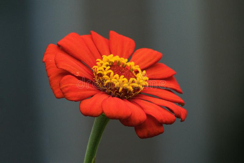 Fondo gris con la flor exótica roja que contiene un centro de oro de la piña fotos de archivo