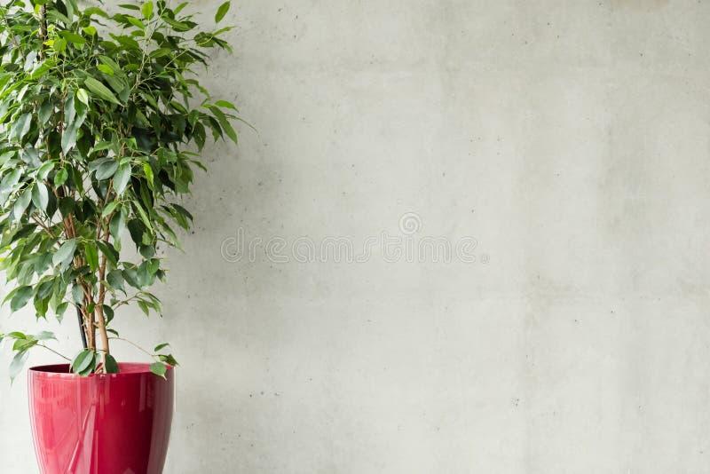Fondo gris del muro de cemento del pote rojo de los ficus vacío foto de archivo libre de regalías