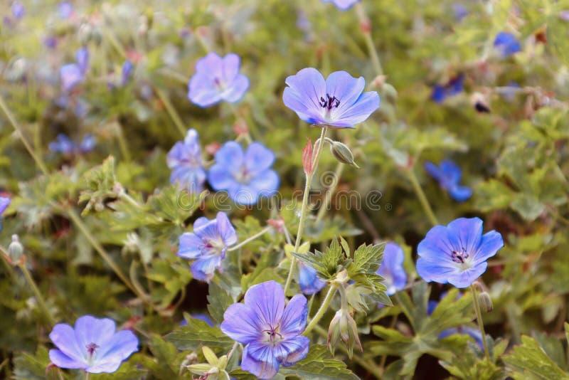 Fondo hermoso azul de la flor en un mar del campo de fotografía de archivo