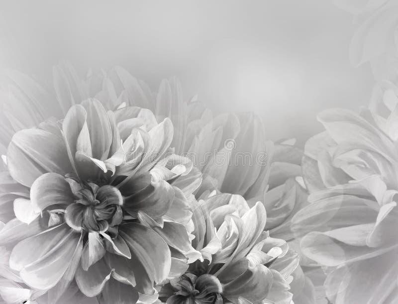 Fondo hermoso blanco-negro del vintage floral Dalias y flores rojas de los p?talos Primer imagen de archivo libre de regalías