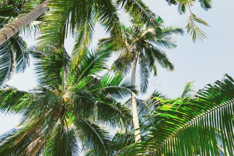 Fondo hermoso con las palmeras tropicales Opinión de debajo hacia arriba sobre las palmeras contra el cielo Palmeras en la luz de fotos de archivo libres de regalías