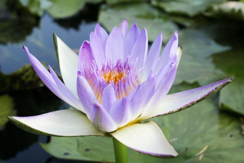 Fondo hermoso de la flor de loto Concepto del fondo de la naturaleza blA fotos de archivo