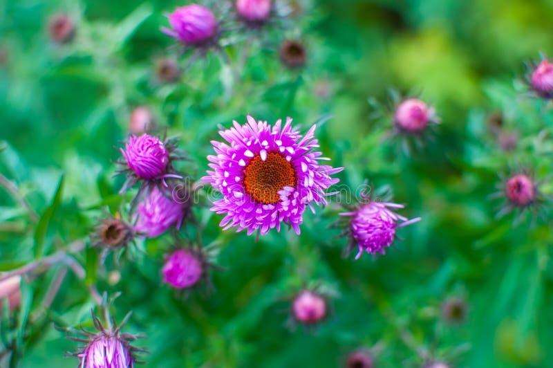 Fondo hermoso de la foto con chrysantemium púrpura fotos de archivo