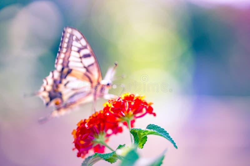Fondo hermoso de la naturaleza, imagen de falta de definición artística de la mariposa y flores del verano imagen de archivo