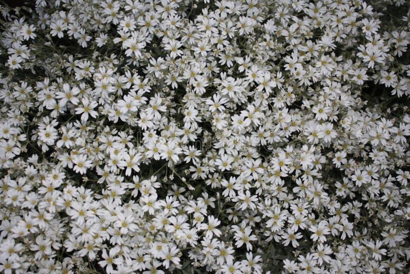 Fondo hermoso de las flores blancas imágenes de archivo libres de regalías