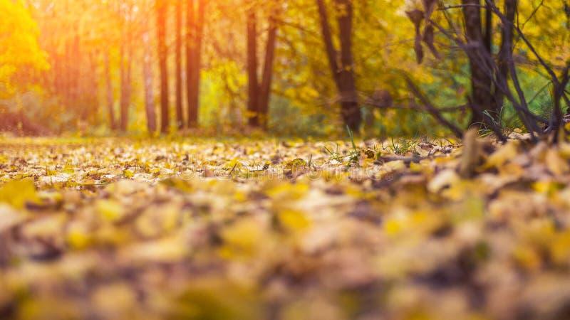 Fondo hermoso del otoño Las hojas son viejas amarillo en la tierra en día del otoño Árboles en el parque foto de archivo libre de regalías