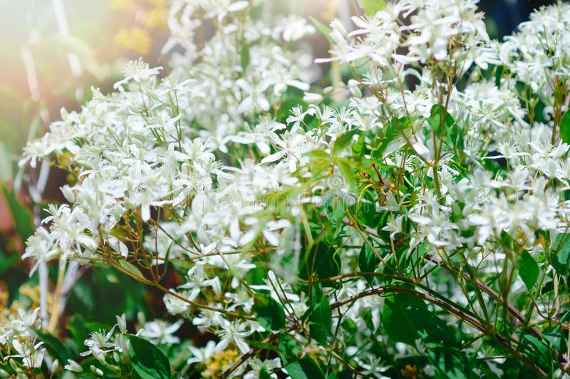 Fondo hermoso del verano con las peque?as flores blancas fotos de archivo