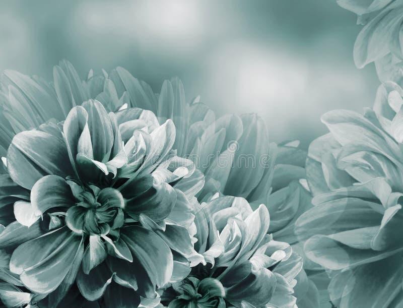 Fondo hermoso del vintage de la violeta floral de la turquesa Dalias y flores rojas de los p?talos Primer foto de archivo