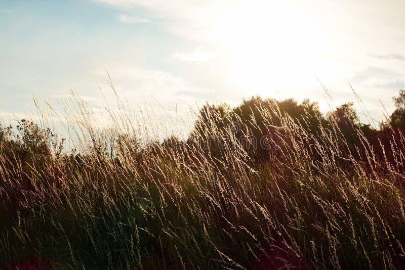 Fondo hermoso Foco suave de soplar alto de la hierba seca fotografía de archivo libre de regalías