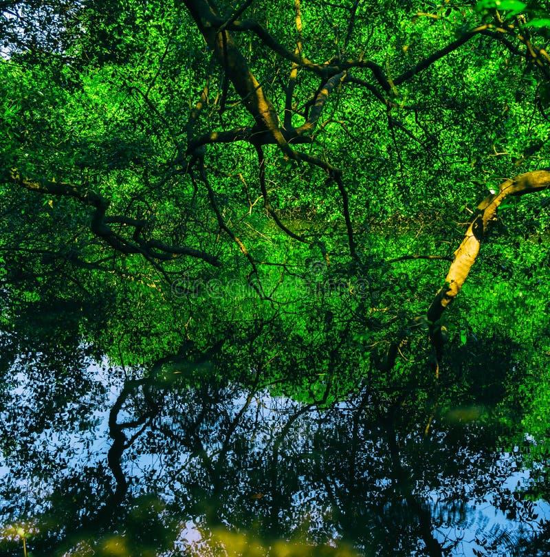 Fondo indio vivo cuadrado b de las reflexiones del agua del bosque de la selva fotos de archivo libres de regalías