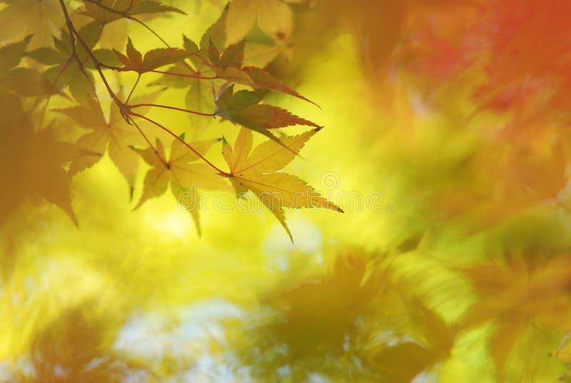 Fondo japonés abstracto de las hojas de arce fotografía de archivo
