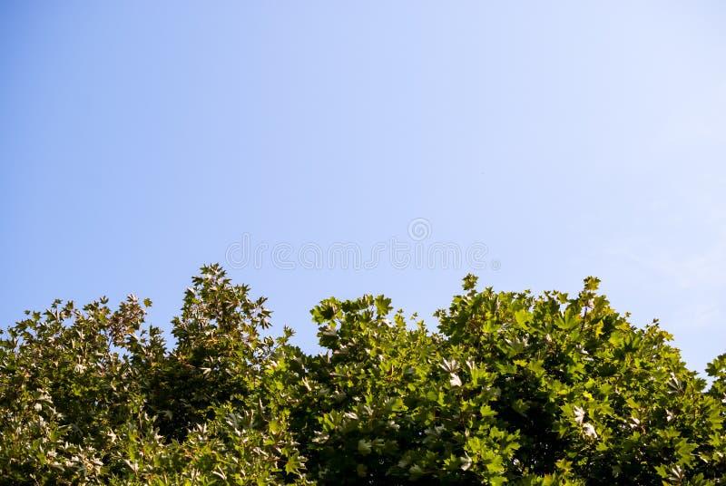 Fondo, la struttura del cielo sopra le corone verdi degli aceri immagine stock