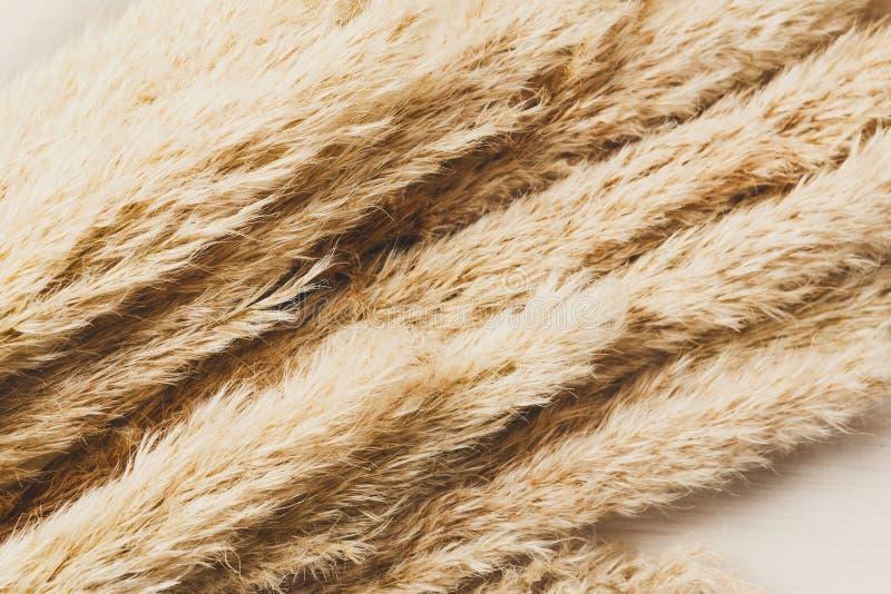 Fondo lanuginoso secco di struttura del fiore del cattail su legno bianco fotografia stock