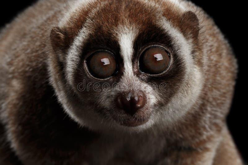 Fondo lento de Loris Isolated Black del lémur del primer imágenes de archivo libres de regalías