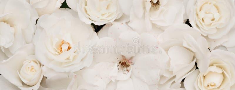Fondo ligero floral panorámico de la naturaleza de las rosas blancas imágenes de archivo libres de regalías