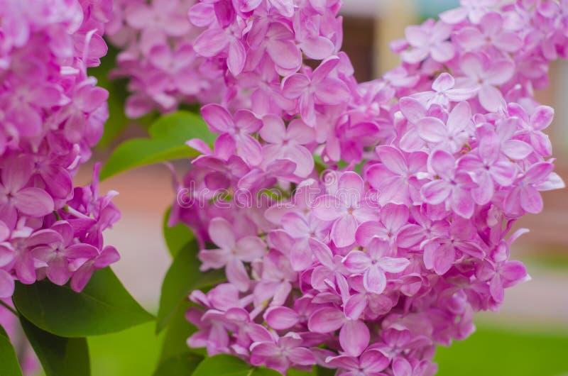 Fondo Lillà di fioritura del lillà Fiori lilla fotografia stock libera da diritti