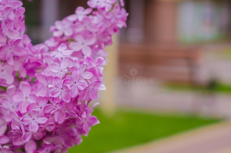 Fondo Lillà di fioritura del lillà Fiori lilla fotografie stock