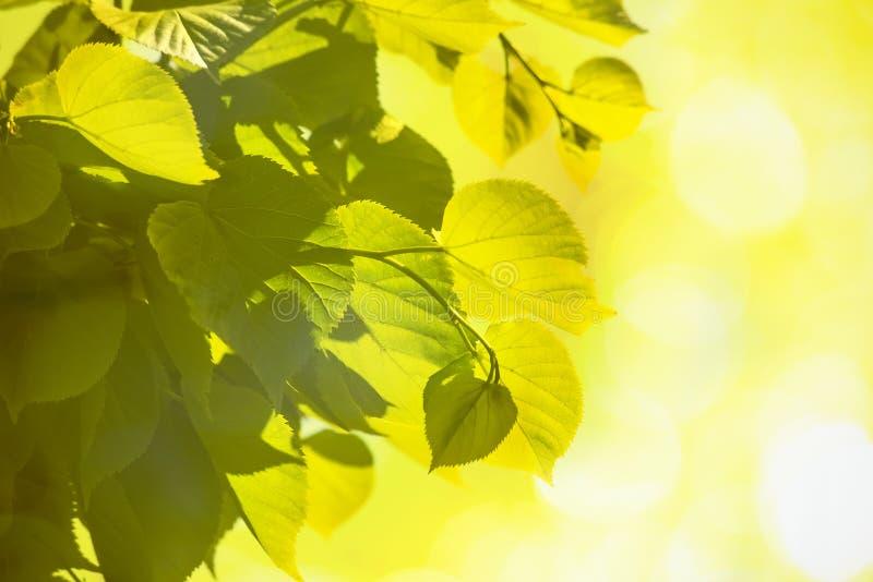 Fondo luminoso delle foglie verdi alla luce solare con bokeh immagine stock libera da diritti