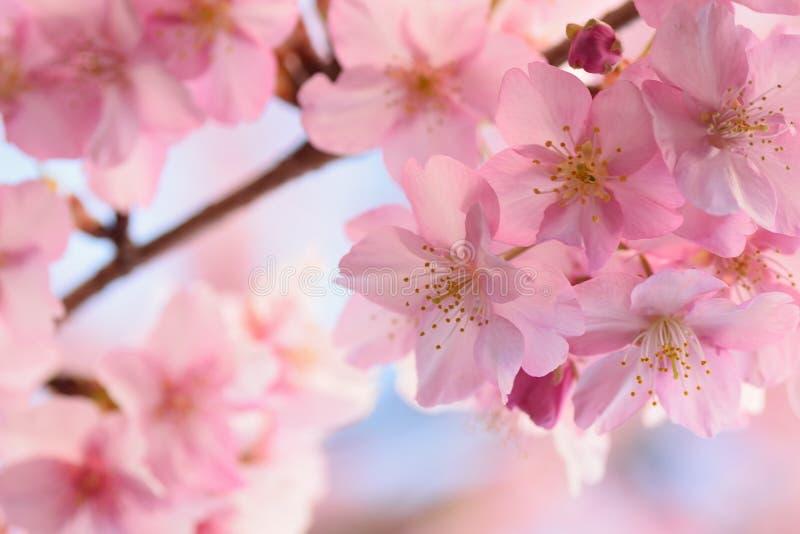 Fondo macro de las flores de cerezo del rosa japonés en marco horizontal fotos de archivo libres de regalías