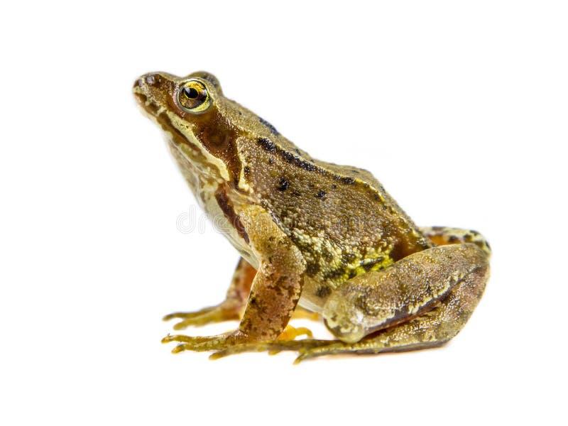 Fondo marrón común del blanco de la rana imagenes de archivo