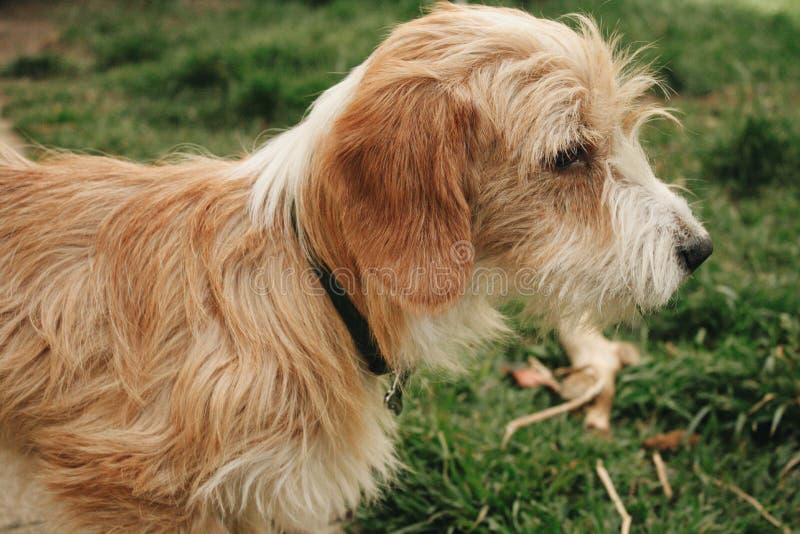 Fondo marrone e bianco del cane della natura fotografia stock libera da diritti