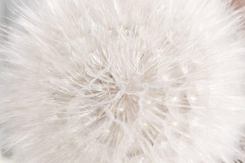 Fondo mullido apacible suave floral natural del verano del extracto con las semillas de flor del diente de león imagen de archivo
