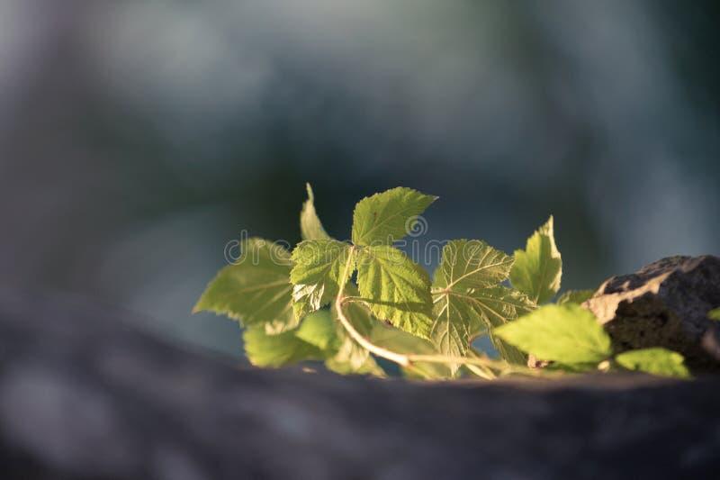 Fondo natural con las hojas verdes claras imagen de archivo libre de regalías